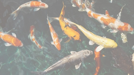 Koi Fish Swimming in a Pond