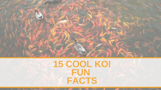 Koi Fish Facts