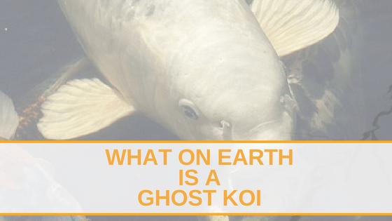 Ghost Koi