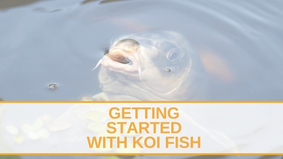Getting Started With Koi Fish