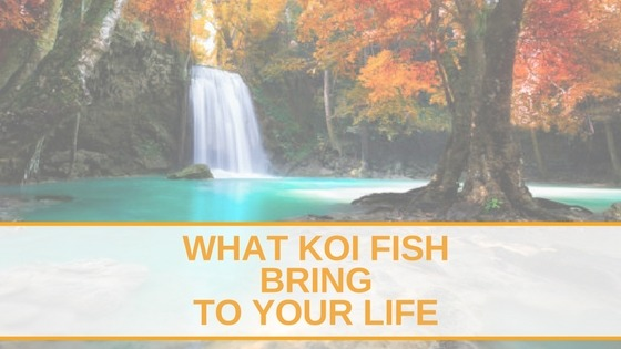 What koi fish bring to your life