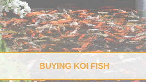 Buying Koi Fish