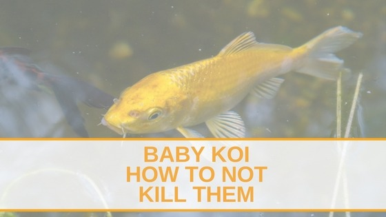Totally koi all about koi fish for Koi fish in kiddie pool