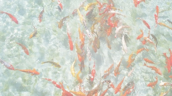 Buying Koi for your Pond