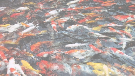 Buying a Koi Fish for your Pond