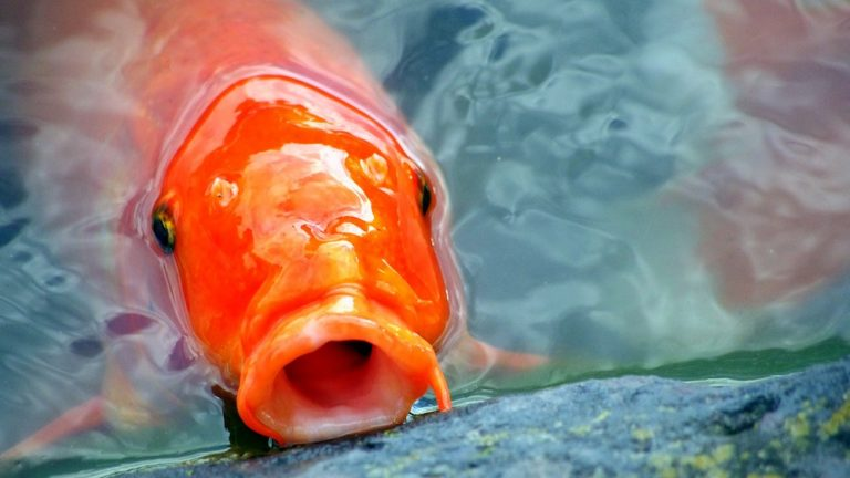 Close up to a Red Koi