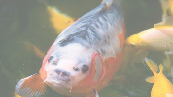 How to choose the right Koi for me