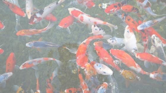 Koi Fish Aquariums