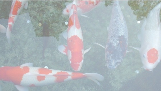 What colours are a Kohakuu Koi Fish