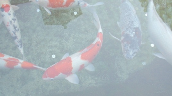 What does a Kohakuu Koi Fish look like