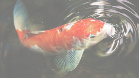 What is a Kohakuu Koi Fish