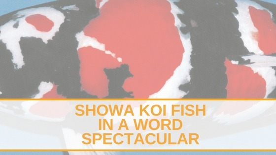 showa koi fish