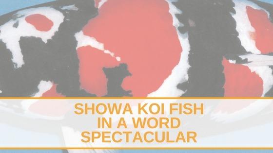 showa koi fish
