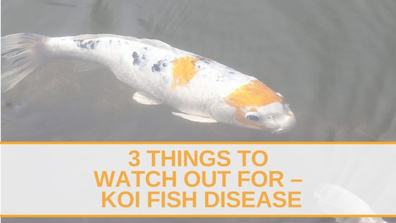 3 Things to Watch out for – Koi Fish Disease