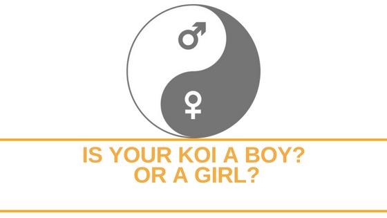 Gender Of Koi