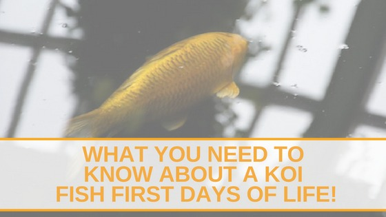 What you Need to Know about a Koi Fish first days of life!