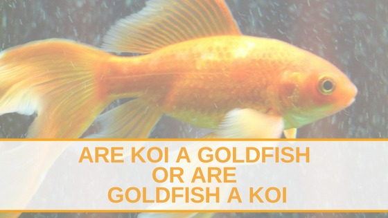 Are Koi A Goldfish Or Are Goldfish A Koi