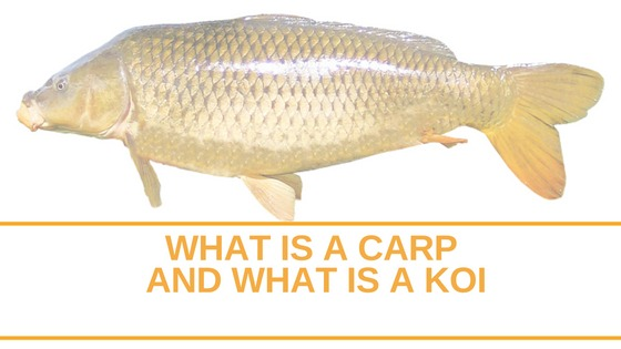 What Is A Carp And What Is A Koi