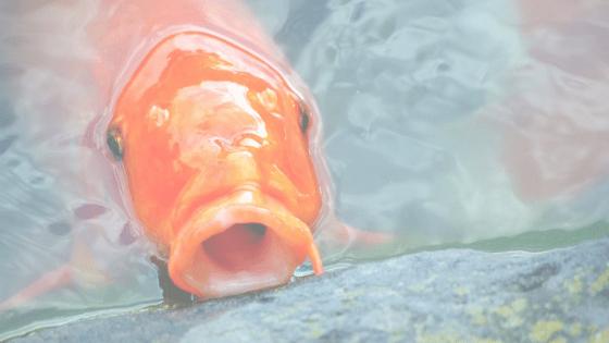 how to train your koi fish