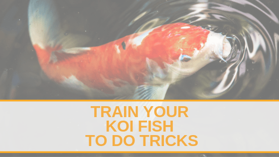 train your koi fish to do tricks