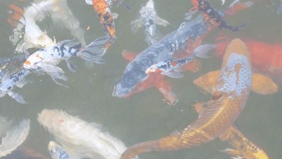 training your koi fish