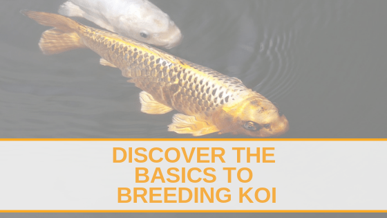 Discover the basics to breeding koi