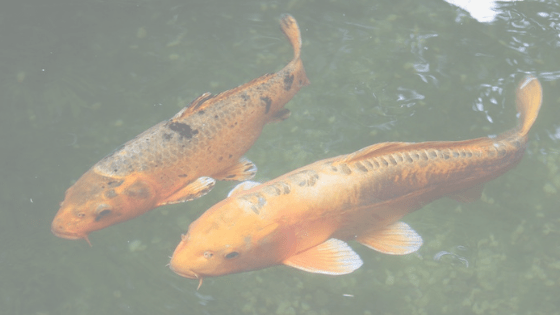 Learn about the basics to koi breeding