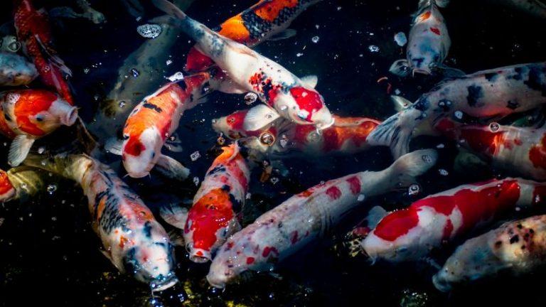 Koi Fish Skin Disease