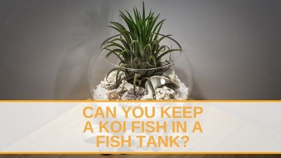 Koi Fish In A Fish Tank