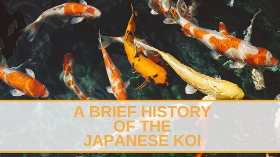 History Of The Japanese Koi