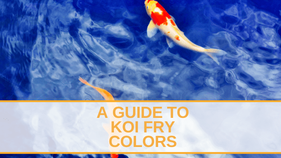 A Guide To Koi Fry Colors