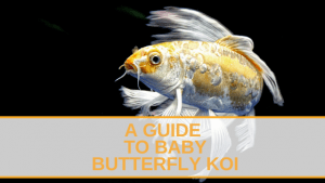 A Guide to Baby Butterfly Koi
