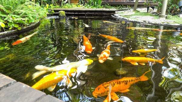 A Guide to Building a Koi Pond