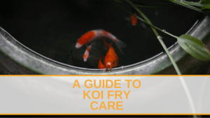 A Guide to Koi Fry Care