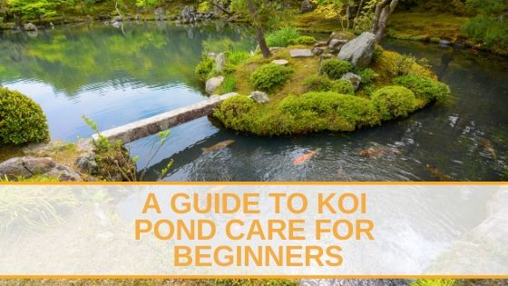 A Guide to Koi Pond Care for Beginners