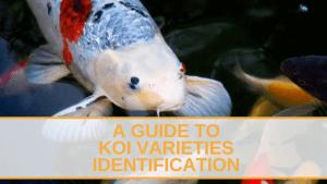 koi varieties identification