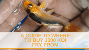 where to buy 1000 koi fry from