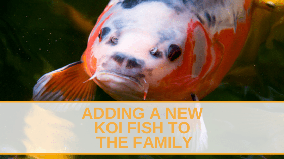 Adding A New Koi Fish To The Family (1)