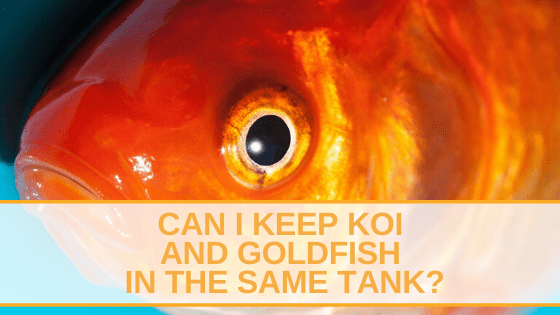 Can I Keep Koi And Goldfish In The Same Tank?