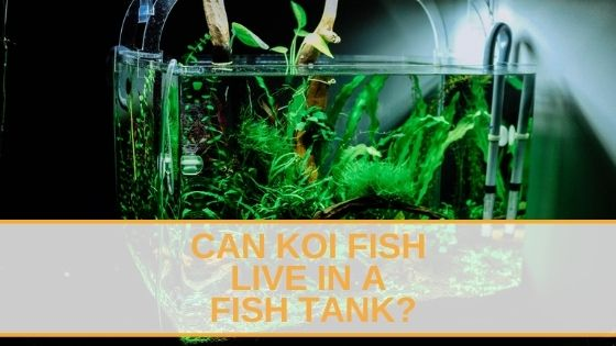 Can Koi Fish Live in a Fish Tank