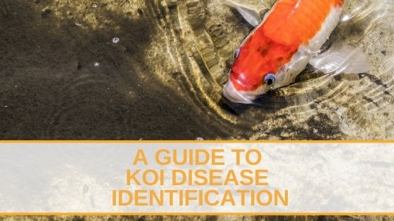 Koi Disease Identification
