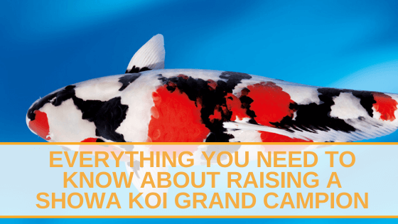 Everything You Need to Know About Raising A Showa Koi Grand Campion