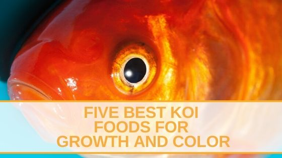 Five Best Koi Foods for Growth and Color