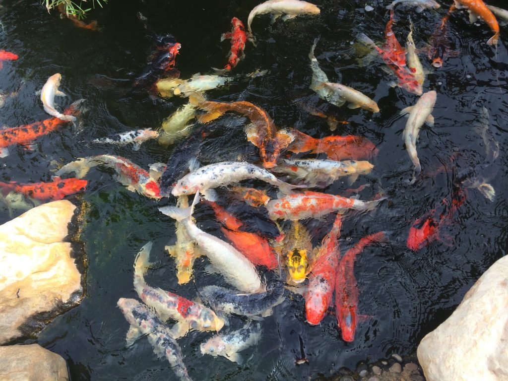 Homemade Koi Fish Food