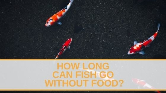 How Long Can Fish Go Without Food