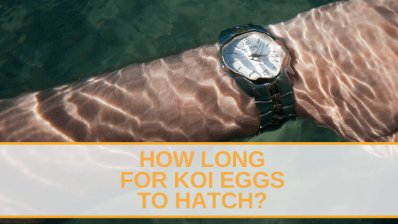 How Long for Koi Eggs to Hatch