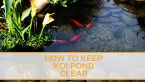 How To Keep Koi Pond Clear