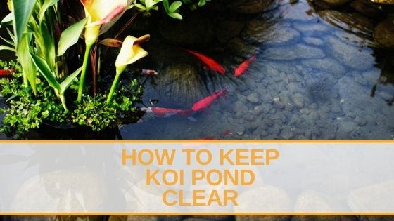How To Keep Koi Pond Clear