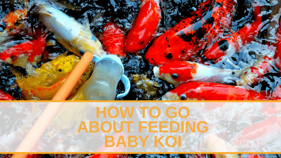 How to Go About Feeding Baby Koi