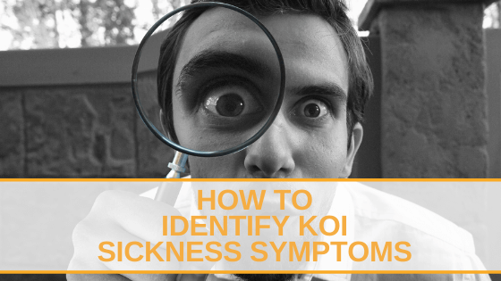 How to Identify Koi Sickness Symptoms